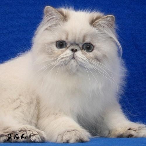 chaton persan Haute-Savoie Maison Tricorne