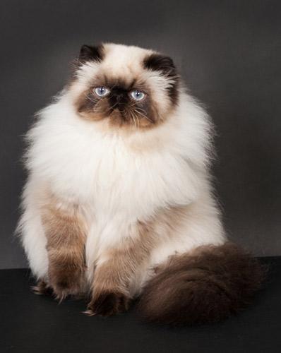 chat persan Haute-Savoie Maison Tricorne