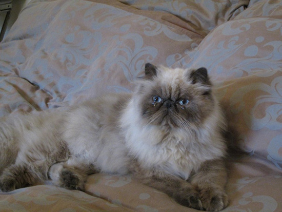 chaton persan colourpoint Haute-Savoie
