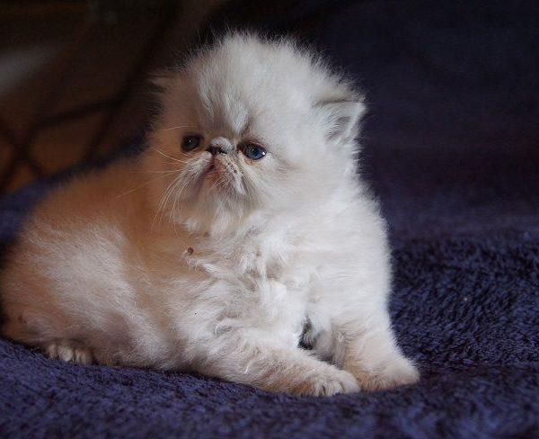 chaton persan